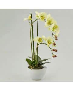 Artificial Orchid Green H50cm